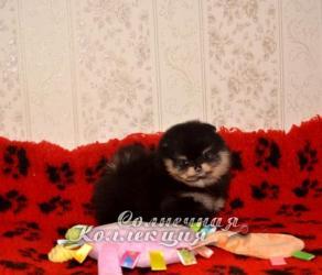 Щенки померанского шпица тип мишка 89253757617