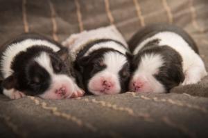 Австралийская овчарка (аусси) щенки
