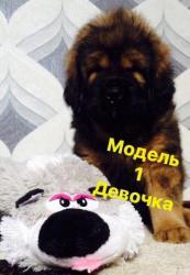 ШОУ-ДЕТКИ ТИБЕТСКОГО МАСТИФА