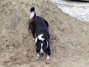 Собака, кобель. Породы, лайка Русско-европейская. Окрас Черно-белый