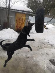 продажа обученных, дрессированных собак. дрессировка собак в москве. клуб лосфас