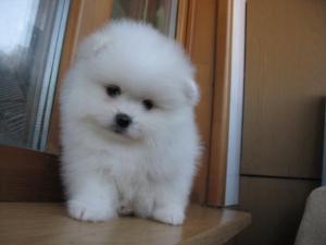 Высокопородный щенок престижного белого окраса