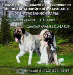 Щенки Анатолийского карабаша (кангал)