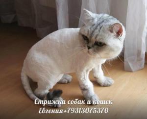 стрижка кошек без наркоза