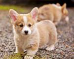 pembroke-welsh-corgi-puppies-play-at-black-gravel_1.jpg