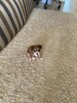 Помогите определить породу щенка