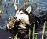 Собака для охоты на уток