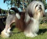 Левхен (львиная собачка, лион-бишон)