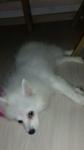 щенок японского шпица