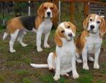 Собаки участвуют в поиске лекарств для людей