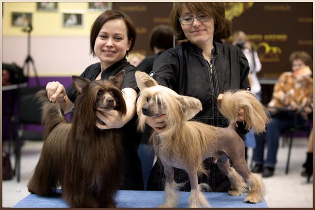 китайской хохлатой собаки»