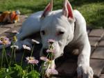Мой DOGO ARGENTINO