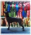 Мексиканская голая собака - Xoloitzcuintle