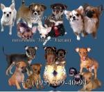 Маленькие собачки - Чихуахуа и Русский тойтерьер.