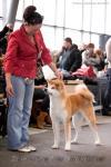 Монопородная выставка Акита 09.02.2013 г. Эксперт - Габриэла Рихард (Германия)