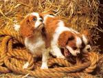 Обои собаки. Три братца-малыша