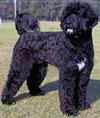 Гипоаллергенные породы собак
