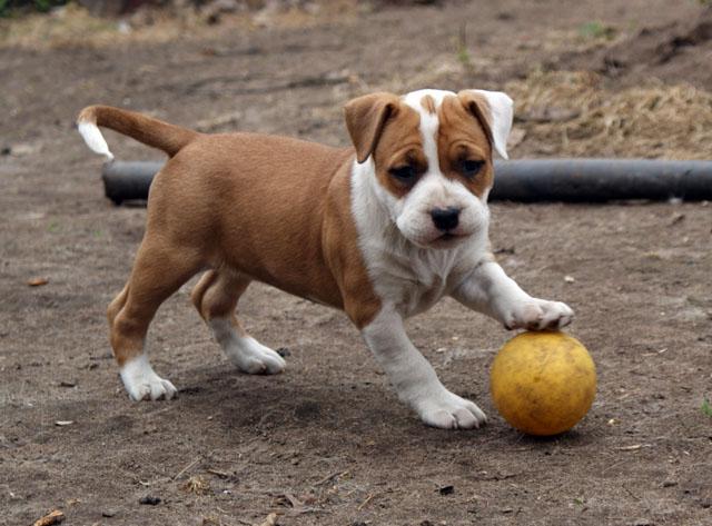 амстафф фото щенок